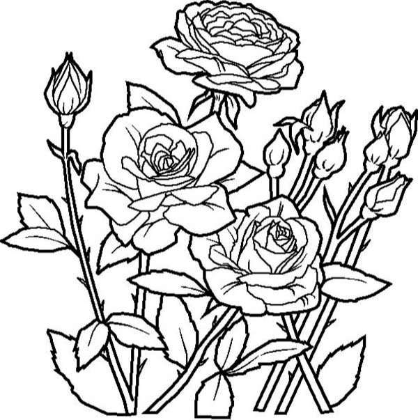Rose Flower in the Garden Coloring Page Kids Play Color ePin
