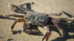 Crab, Sand, Claws laptop 1366×768 HD Background