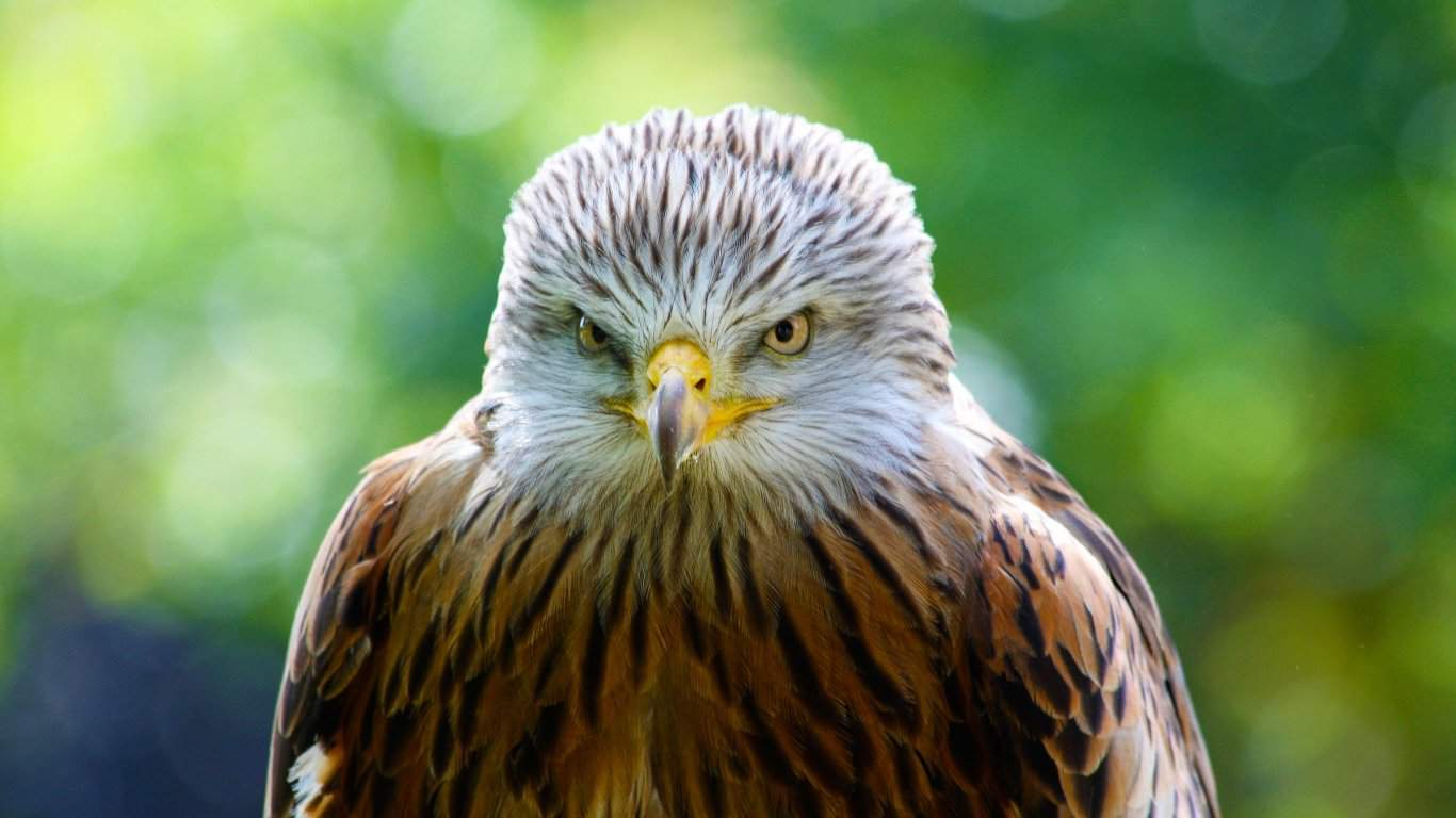 Hawk, Bird, Predator laptop 1366×768 HD Background
