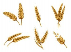 Golden wheat ears and grains realistic vector set