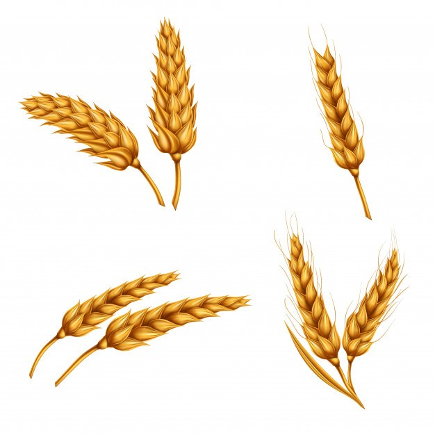 Set of vector illustrations of wheat spikelets, grains, sheaves of wheat isolated on white backg ...