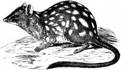 Northern Quoll Icons PNG