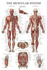 Muscular System Anatomical Poster