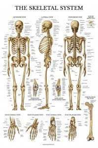 Skeletal System Anatomical Chart