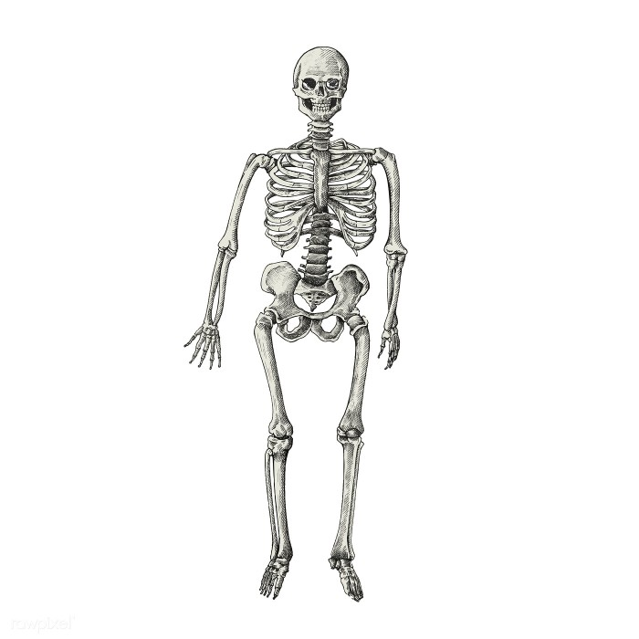 Hand drawn sktech of a human skeleton