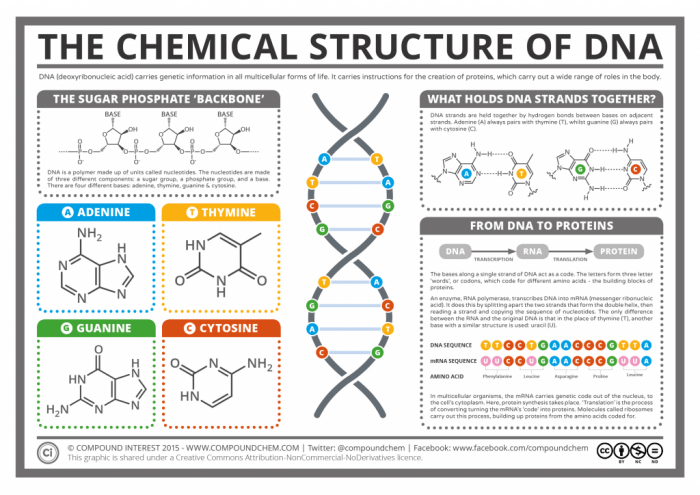 The Chemical Structure of DNA