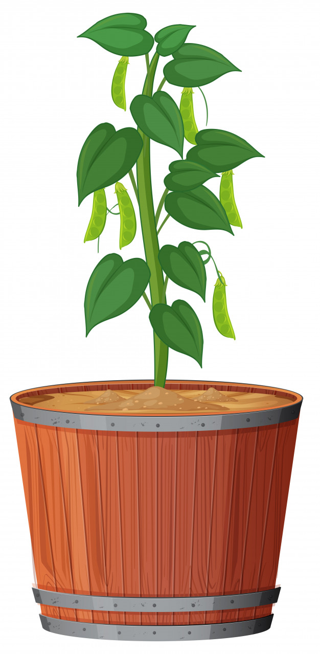 Plant in pot with soil isolated