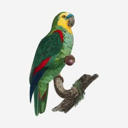 Turquoise-fronted parrot